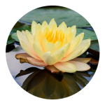Lotus | Nancy Bloom | Hypnotherapist | Ashland, OR 97520